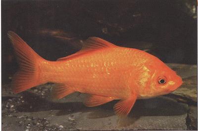 vörös foltok az aranyhal hasán