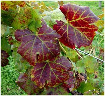 szőlőn vörös foltok mint kezelni)